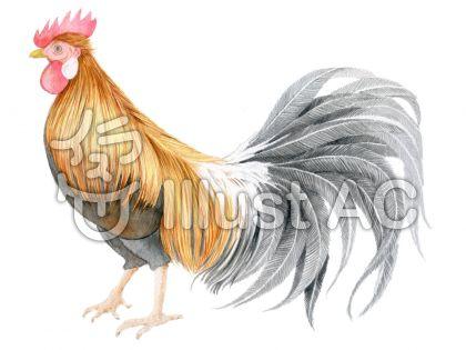 鶏 ★0443-Eのイラスト